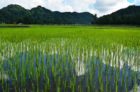 Paddy_and_Pisciculture_at_Ziro