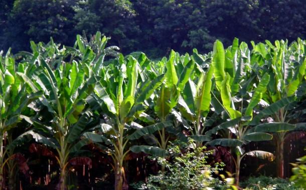 Banana_Farm_-_Kerala_RameshNG