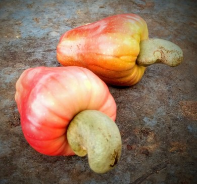Cashew fruit_edited
