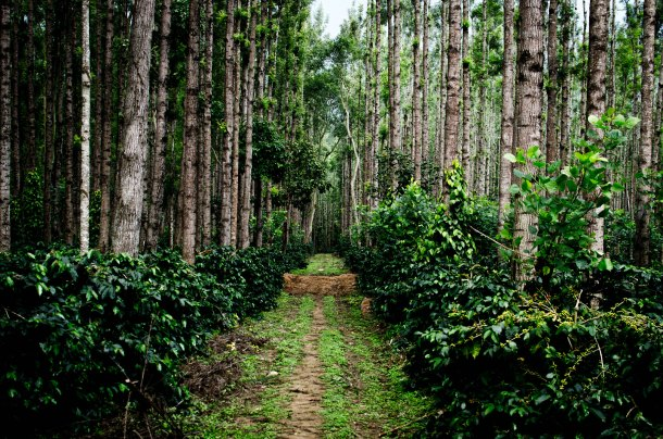 CoffeePlantation Chikmagalur