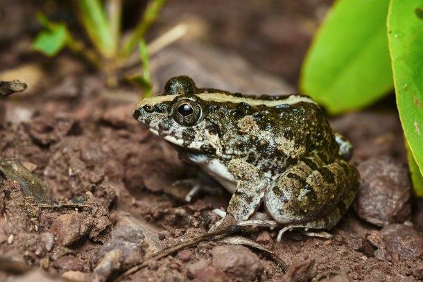 Fejervarya limnocharis Frog