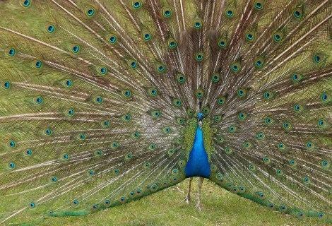 1583px-Peacock,_East_Park,_Hull_-_panoramio