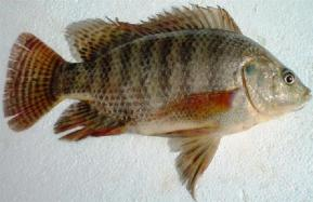 Tilapia (Oreochromis niloticus)