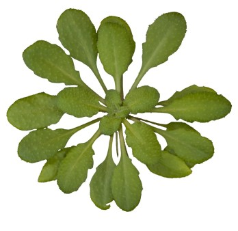 1054px-Arabidopsis_thaliana_Wikimedia
